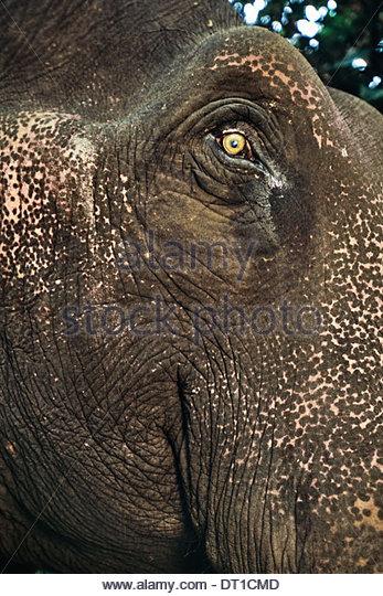 Mudumalai Wildlife Sanctuary Western Ghats Indien heimischen Asiatischer Elefant Elephas Maximus Gesicht Stockbild