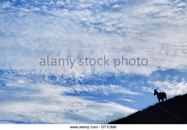 Eravikulum Nationalpark Western Ghats Indien Nilgiri Tahr Nilgiritragus Hylocrius Eravikulum Stockbild