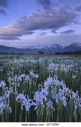 Big Sur California USA Wild Iris Moraesp östliche Sierra California Stockbild