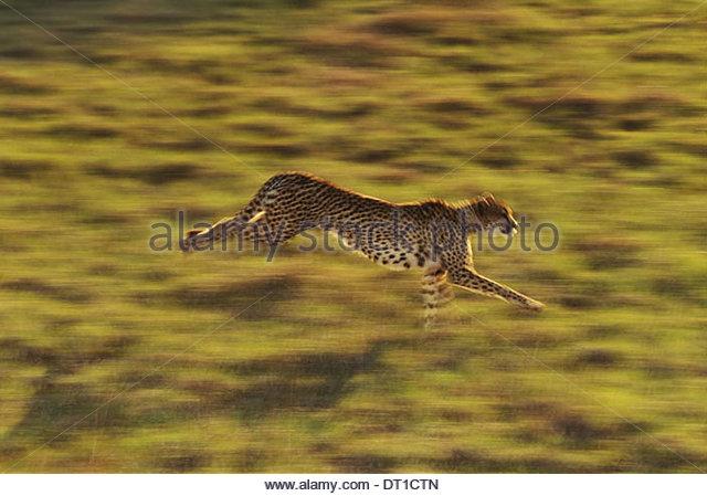 Gepard läuft Acinonyx Jubatus Native nach Afrika Stockbild