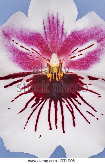 Orchid Miltonihybrid Nahaufnahme Blume Stockbild
