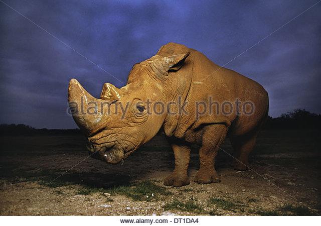 Südafrika-weißer Rhinoceros Ceratotherium Simum Afrika Stockbild