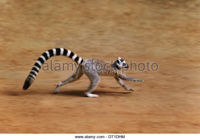 Madagaskar Katta Lemur Catta Madagaskar ausgeführt Stockbild