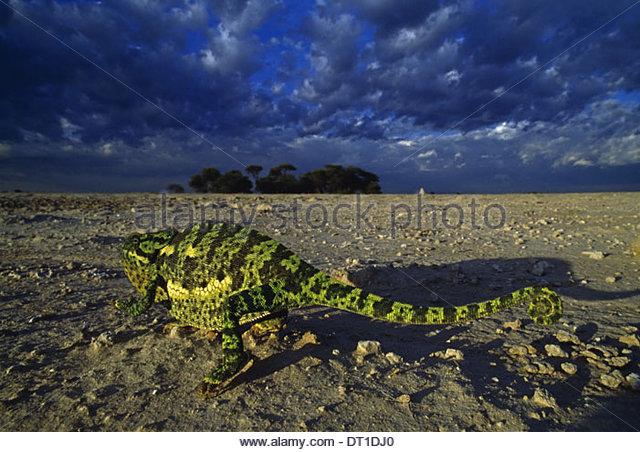 Makgadikgadi Pfannen Kalahari-Wüste Botswana Flap-necked Chamäleon Chamaeleo Dilepis Botswana Stockbild