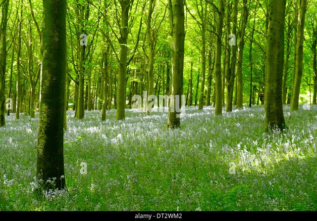 Bluebell Woods, Dorset, Großbritannien Stockbild