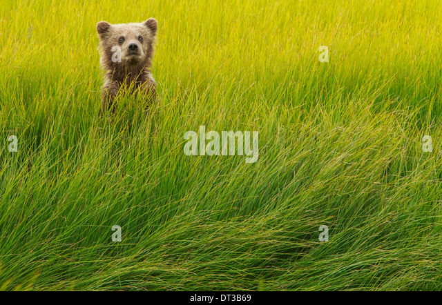 Brown Bear Cub, Lake-Clark-Nationalpark, Alaska, USA Stockbild