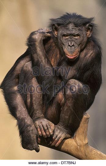 Bonobo Pan Paniscus Eingeborener nach Kongo Kongo Stockbild