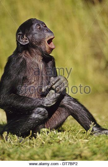 Bonobo juvenile Lachen Pan Paniscus Eingeborener nach Kongo Kongo - Stock-Bilder