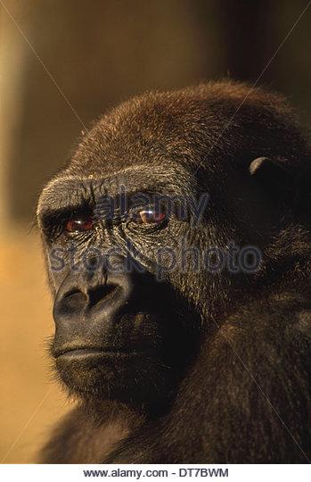 Tiefland-Gorilla Gorilla Gorilla Eingeborener nach Kongo Kongo Stockbild