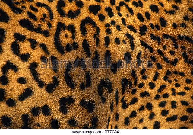 Nahaufnahme eines Jaguars mit charakteristische Markierungen auf dem Fell Panthera Onca Belize Belize Stockbild