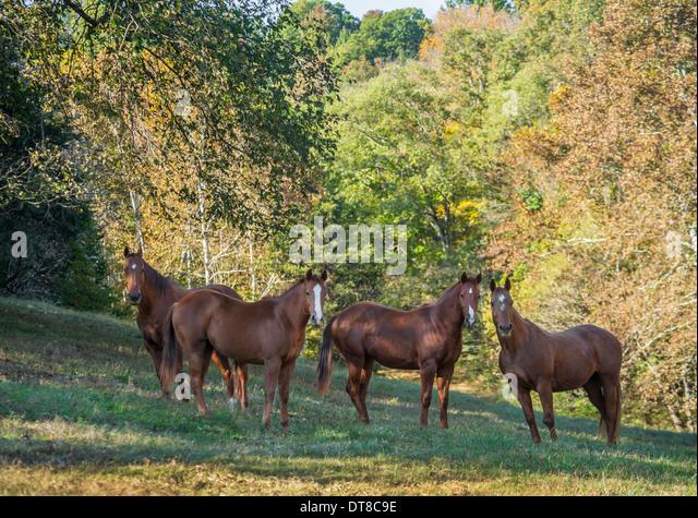 Vier neugierig Quarter Horse Stuten Stockbild