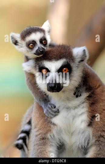 Kattas, Weibchen mit jungen, Berenty Reserve, Madagaskar / (Lemur Catta) Stockbild