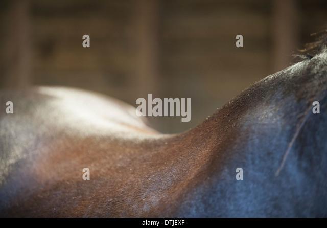 Eine Bucht Pferd den Hals Widerrist und Kurve des Rückens England Stockbild
