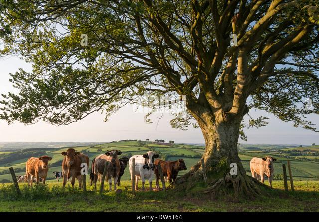 Neugierige Rinder unter einem Baum in Devon, England. (Juni) im Sommer 2013. Stockbild