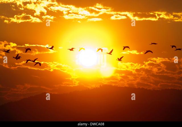 Ein Schwarm Gänse fliegen bei Sonnenaufgang in Boise, Idaho, USA. Stockbild