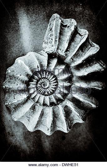 Die konzentrischen Kreise einer versteinerten Muschel, England, Vereinigtes Königreich. Stockbild
