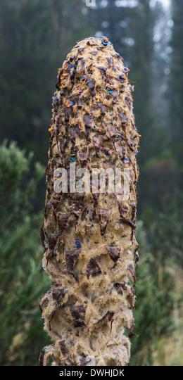Cotopaxi NP - Achupalla Stockbild