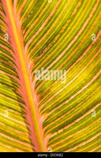 Rosa und grün Canna Detail Blattmuster, full-Frame, Nahaufnahme Stockbild