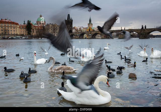 Schwäne und Möwen auf der Moldau mit Karlsbrücke, Prag, Tschechische Republik Stockbild