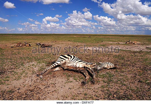 Zebras und Gnus liegen verstreut über die Ebene in Amboseli, Kenia während der schlimmsten Dürre Stockbild