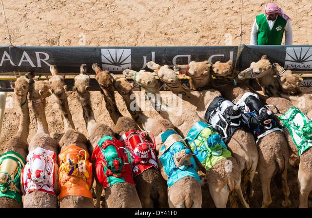 Start bei Kamelrennen Festival auf Al Marmoum Kamelrennen Rennstrecke in Dubai Vereinigte Arabische Emirate Stockbild