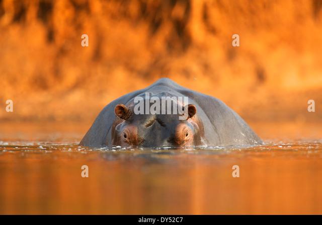 Nilpferd / Flusspferd - Hippopotamus Amphibius - bei Sonnenuntergang, Mana Pools Nationalpark, Simbabwe, Afrika Stockbild