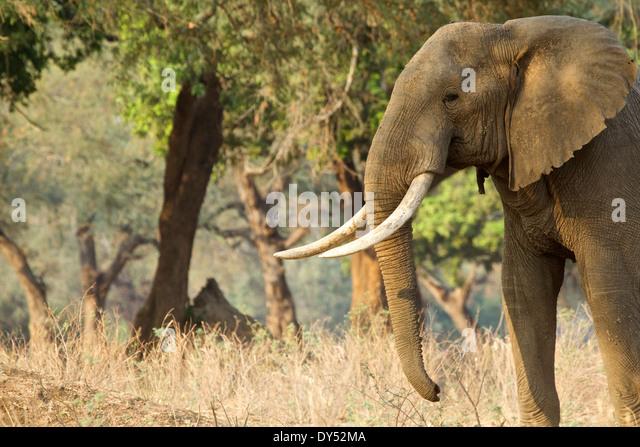 Afrikanischer Elefant - Loxodonta Africana - Stier Wandern im Morgengrauen Stockbild
