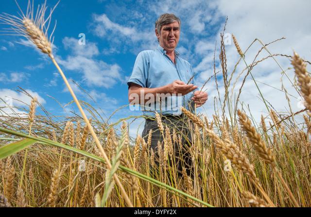 Landwirt in Weizen Feld Snow Hill MD Stockbild
