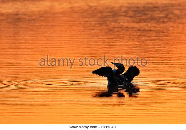 Gemeinsamen Loon (Gavia Immer) bei Sonnenaufgang Stockbild