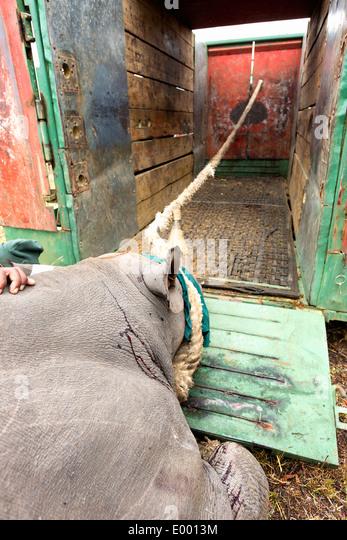 Spitzmaulnashorn (Diceros Bicornis) in einer Kiste für Translokation geladen werden. Ithala-Wildreservat. Südafrika Stockbild