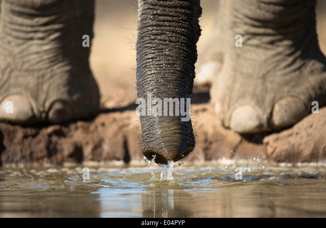 Afrikanischer Elefant (Loxodonta Africana). Nahaufnahme der Elefantenfüße und des Rumpfes trinken am Wasserloch Stockbild