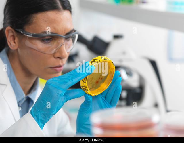 Wissenschaftlerin, die Kulturen wachsen in Petrischalen mit einem Band Biohazard auf in einem Mikrobiologielabor Stockbild