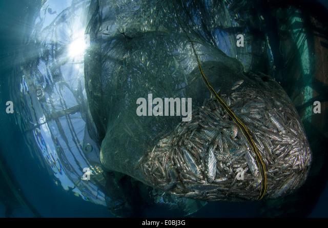 NET gefüllt mit kleinen Fischen, Ikan Puri, unten ein Bagan (lokalen Fischerboot mit Plattform und Netze), Stockbild