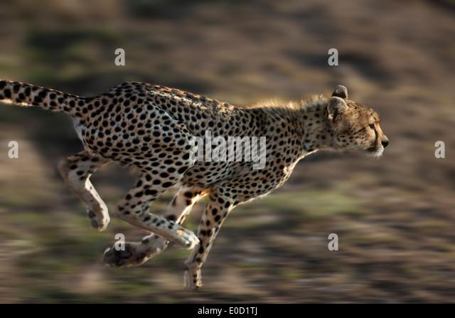 Laufenden Geparden, Serengeti, Tansania (Acinonyx Jubatus) Stockbild