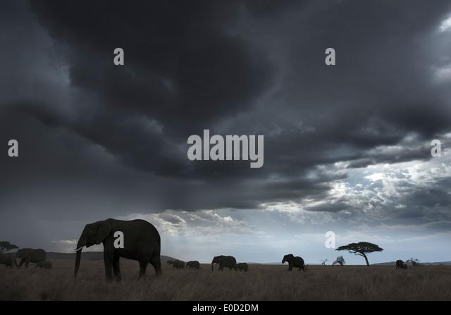 Elefanten und Gewitterwolken, Tansania (Loxodonta Africana) Stockbild