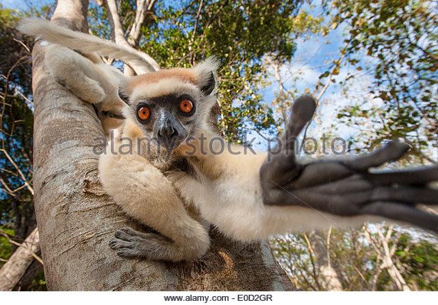 Golden-gekrönter (Tattersall) Sifaka, Andranotsimaty, Daraina, Madagaskar. (Propithecus Tattersalli) Stockbild