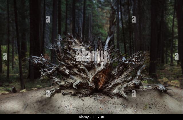 Gefällte Baum mit freiliegenden Wurzeln Stockbild