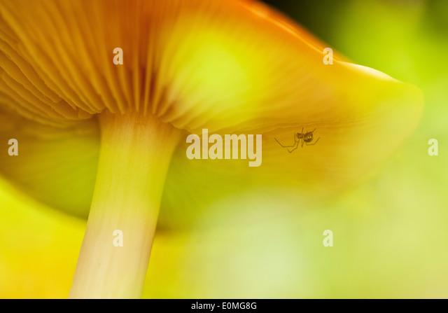 Eine kleine Spinne versteckt unter einem großen Pilz auf dem Waldboden, Oregon, USA Stockbild