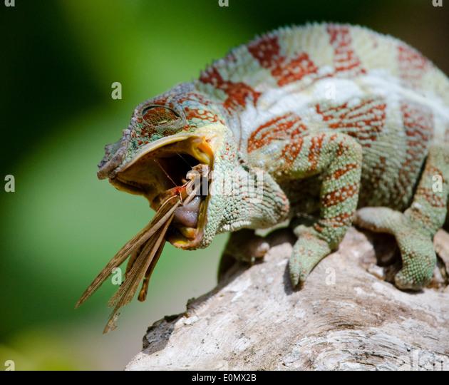 Chamäleon Essen ein Grig (Insekt), Madagaskar (Chamaeleonidae) (Cyphoderris) Stockbild
