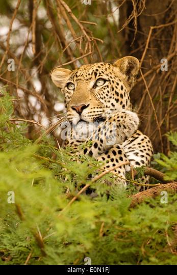 Afrikanischen Leoparden im Baum zu töten, Samburu Game Reserve, Kenia, Afrika (Panthera Pardus) Stockbild