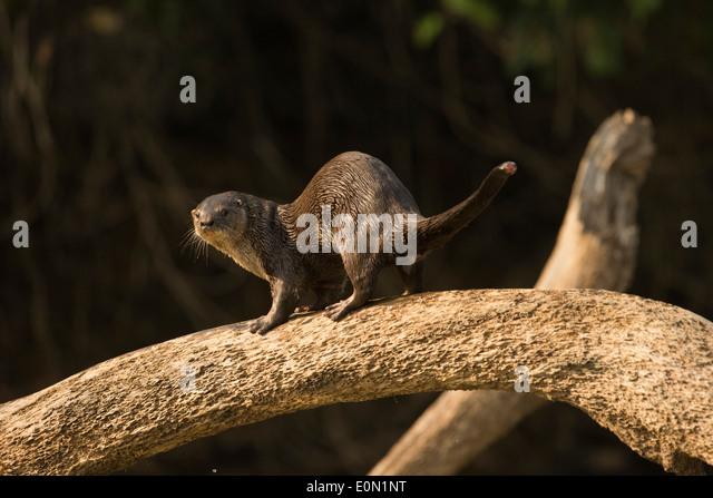 Neotropische Fischotter entlang der Flussufer, Matto Grosso, Pantanal, Brasilien, Südamerika (Lontra Longicaudis) Stockbild