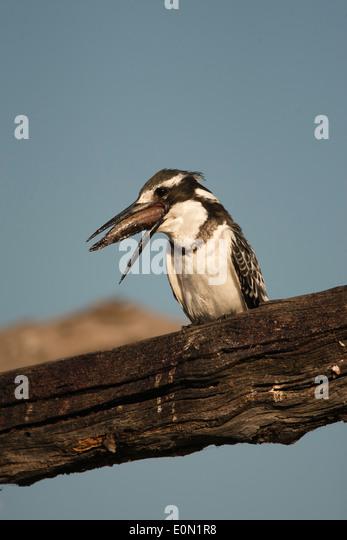Pied Kingfisher Fisch Essen auf Ast, Moremi Game Reserve, Botswana, Afrika (Ceryle Rudis); Stockbild