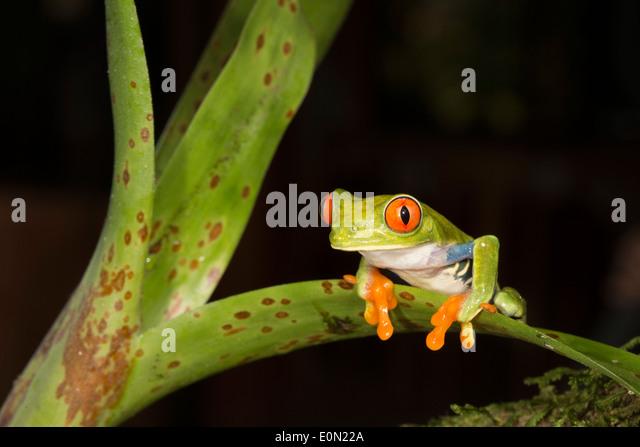 Rote Augen Treefrog, Arenal Volcano, Costa Rica, Zentralamerika. Kontrollierten Situation (Agalychnis Callidryas) Stockbild