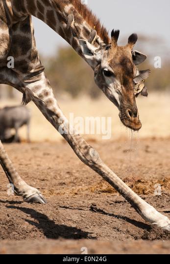 South African Giraffe, Savute Marsh, Botswana, Afrika (Giraffa Giraffe Giraffa) Stockbild