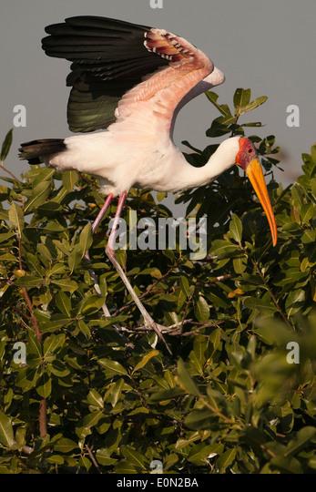 Gelb-billed Stork, Moremi Game Reserve, Botswana, Afrika (Mycteria Ibis) Stockbild