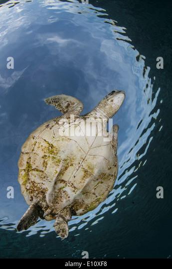 Green Sea Turtle, Sipdan Insel Malaysia (Chelonia Mydas) Stockbild
