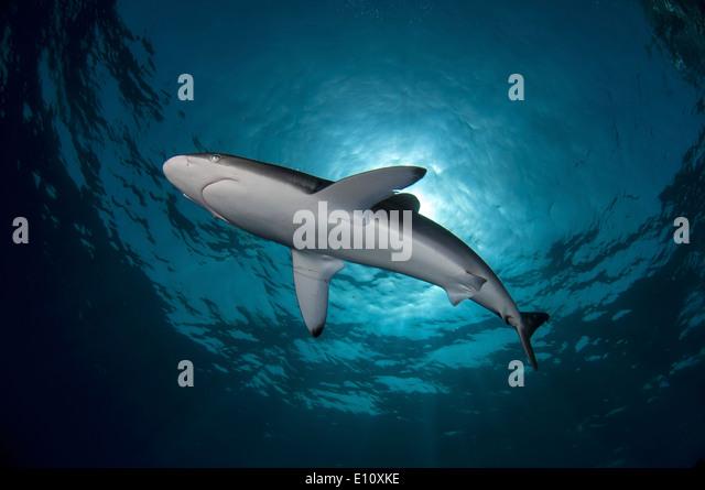 Seidige Hai, Sudan (Carcharhinus Falciformis) Stockbild