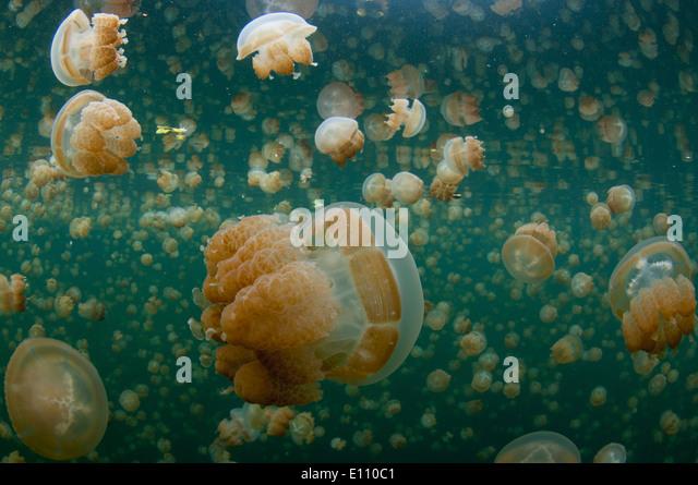 Goldene Qualle nahe der Oberfläche im Jellyfish Lake Palau (Mastigias) Stockbild
