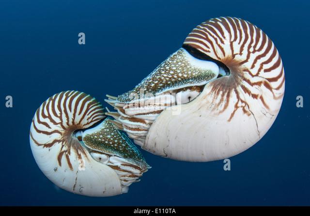 Nautilus, Palau (Nautilus Belauensis) Stockbild
