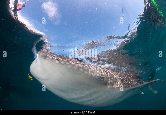 Whale Shark schwimmen an der Oberfläche, Cenderawasih-Bucht, Neuguinea, Indonesien (Rhincodon Typus) Stockbild